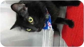Domestic Shorthair Cat for adoption in Saint Charles, Missouri - Blackie