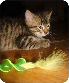 Domestic Mediumhair Kitten for adoption in little rock, Arkansas - Reba