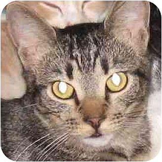 Domestic Shorthair Cat for adoption in Toluca Lake, California - Morgan