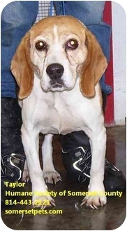 Beagle Mix Dog for adoption in Somerset, Pennsylvania - Taylor
