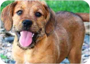Schnauzer (Miniature)/Hound (Unknown Type) Mix Puppy for adoption in Osseo, Minnesota - Stanley