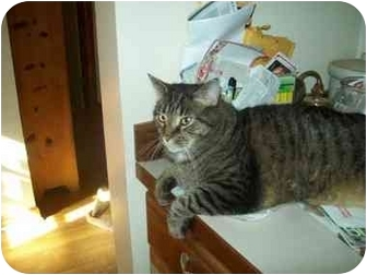 Maine Coon Cat for adoption in Earleville, Maryland - Zorro