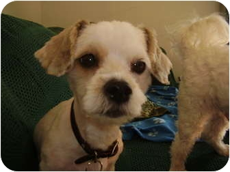 Bichon Frise Mix Dog for adoption in Rigaud, Quebec - Nelly