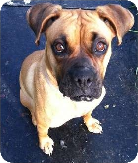 Boxer Mix Dog for adoption in Bristol, Virginia - Pearl