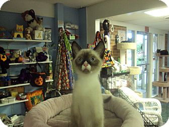 Snowshoe Kitten for adoption in Memphis, Tennessee - Clover