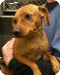 Dachshund/Chihuahua Mix Dog for adoption in Sidney, Ohio - Carlos