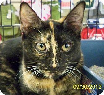 Domestic Shorthair Cat for adoption in Sacramento, California - Kayla Roo
