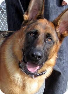 German Shepherd Dog Dog for adoption in Los Angeles, California - Prince *VIDEO*