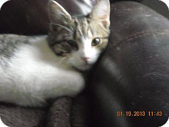Domestic Shorthair Kitten for adoption in Riverside, Rhode Island - Sonny