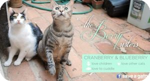Domestic Shorthair Cat for adoption in Colorado Springs, Colorado - Berry Sisters