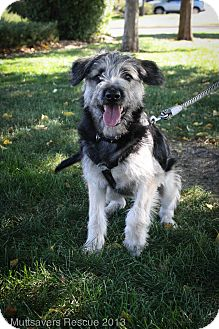 Irish Wolfhound/German Shepherd Dog Mix Puppy for adoption in Broomfield, Colorado - Bindi