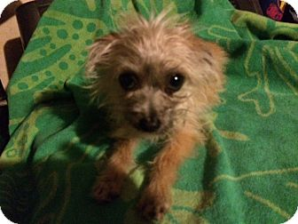 Yorkie, Yorkshire Terrier/Chihuahua Mix Dog for adoption in Houston, Texas - KATO