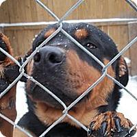 Adopt A Pet :: Boss - latrobe, PA