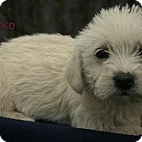 Adopt A Pet :: Machiko ADOPTION PENDING - Danbury, CT
