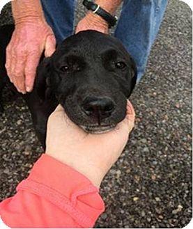 Labrador Retriever Mix Puppy for adoption in Oak Brook, Illinois - Odin