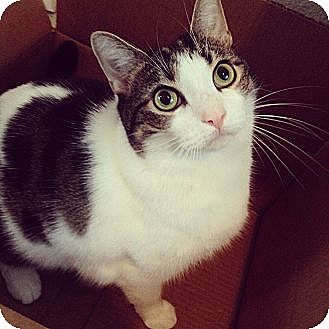 Domestic Shorthair Cat for adoption in Los Angeles, California - ATHENA - COURTESY