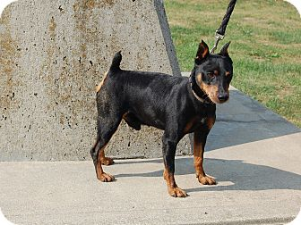 Miniature Pinscher Dog for adoption in North Judson, Indiana - Rocky