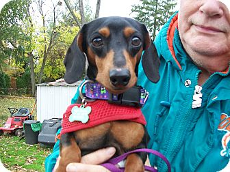 Dachshund Dog for adoption in West Bloomfield, Michigan - Max