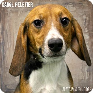 Beagle Dog for adoption in South Plainfield, New Jersey - Carol Peletier