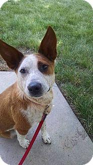 Australian Cattle Dog Mix Dog for adoption in Lebanon, Connecticut - Angel