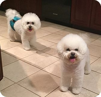 Bichon Frise Dog for adoption in East Hanover, New Jersey - Princess