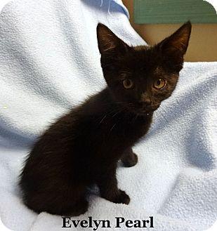 Domestic Shorthair Kitten for adoption in Bentonville, Arkansas - Evelyn Pearl