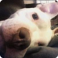 Adopt A Pet :: Blizzard - Mount Juliet, TN