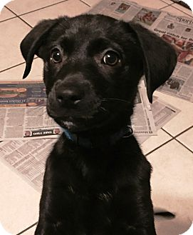 Labrador Retriever Mix Puppy for adoption in Warrenville, Illinois - Shirley