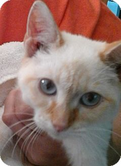 Siamese Cat for adoption in Colonial Heights, Virginia - Pudding