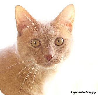 Domestic Shorthair Cat for adoption in Knoxville, Tennessee - Lupin