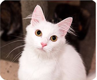 Domestic Shorthair Cat for adoption in Seville, Ohio - Eve