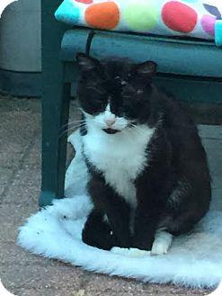 Domestic Shorthair Cat for adoption in Acushnet, Massachusetts - Blaze