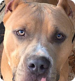 American Pit Bull Terrier Mix Dog for adoption in Redmond, Oregon - Maverick