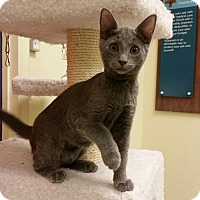 Adopt A Pet :: Grayhawk - Phoenix, AZ