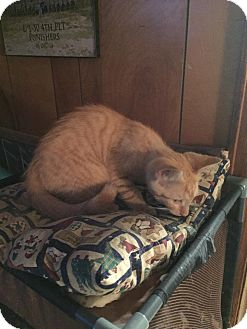 Domestic Shorthair Kitten for adoption in Clay, New York - Baby Ted