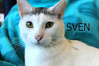 Domestic Shorthair Cat for adoption in Wichita Falls, Texas - Sven