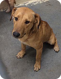 Labrador Retriever Mix Dog for adoption in Greensburg, Pennsylvania - Climber