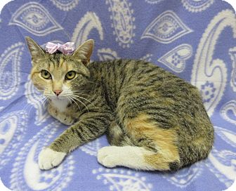 Domestic Shorthair Cat for adoption in Lexington, North Carolina - AMETHYST
