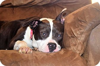 Boston Terrier Mix Dog for adoption in Waterbury, Connecticut - ZOEY