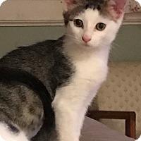 Adopt A Pet :: Piper - Harrison, NY