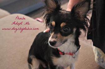 Chihuahua/Pomeranian Mix Dog for adoption in Kansas City, Missouri - Phoebe