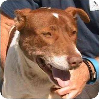 American Pit Bull Terrier/Akita Mix Dog for adoption in Berkeley, California - Hans
