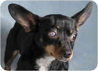 Miniature Pinscher/Chihuahua Mix Dog for adoption in Chicago, Illinois - Stella