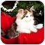 Photo 1 - Calico Kitten for adoption in Owensboro, Kentucky - Lacy