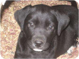 Labrador Retriever Mix Puppy for adoption in Columbus, Nebraska - Lab Mix Puppies