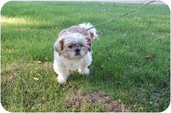 Shih Tzu Dog for adoption in Oak Lawn, Illinois - Lucky