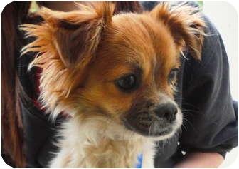 Pekingese Mix Dog for adoption in Mission Viejo, California - Eugene