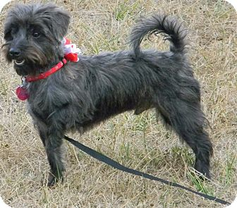 Cairn Terrier Mix Dog for adoption in cameron, Missouri - HARRY