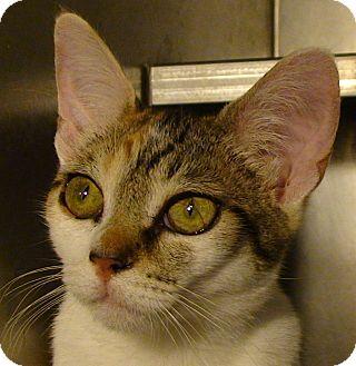 Domestic Shorthair Kitten for adoption in El Cajon, California - Daphne