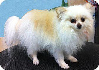 Pomeranian Mix Dog for adoption in Goleta, California - Abby